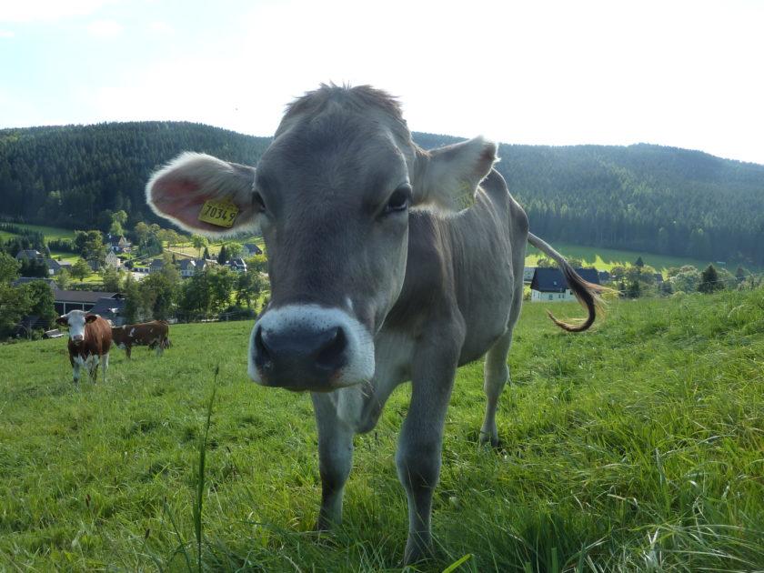 Kuh Erzgebirge